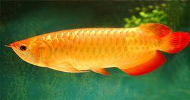 巨滑舌鱼是金龙鱼吗?