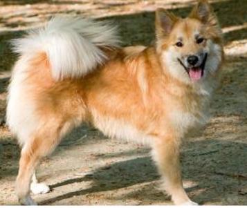 金毛寻回犬_宠物狗的各种种类介绍+图片_百度知道