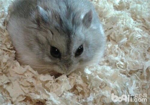 过年饲养仓鼠值得注意的问题有哪些?