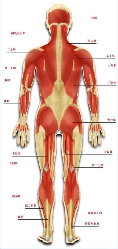 肌肉由什么组成_肌肉系统的形态结构_百度知道