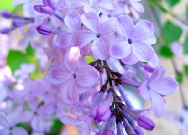 写丁香的古诗词 古诗中有哪些描写丁香的名句