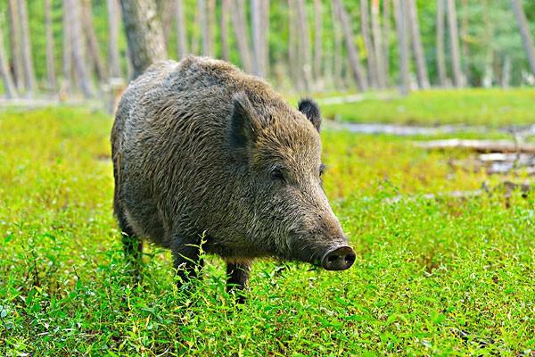 美国野猪泛滥,每年损失都很高,为什么却不抓来吃呢?