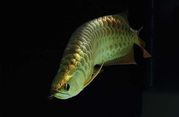 希望龙鱼能为本人和家庭带来好运 水族资讯 南昌水族馆第3张