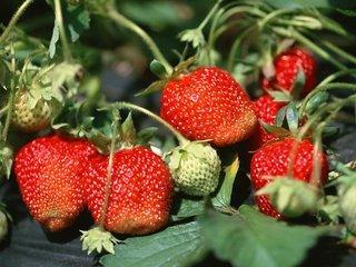 草莓,英语怎么读