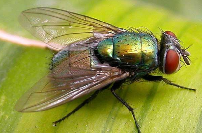 坚挺金苍蝇是什么_苍蝇是吃什么的_百度知道