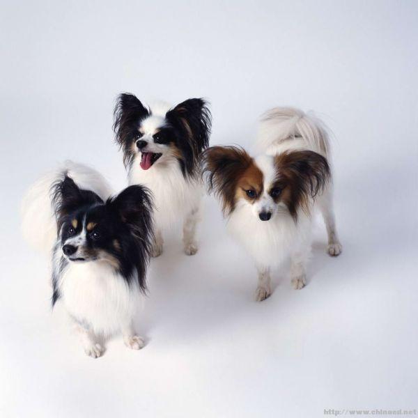 小型犬都有哪些品种_小型犬的种类和图片_百度知道