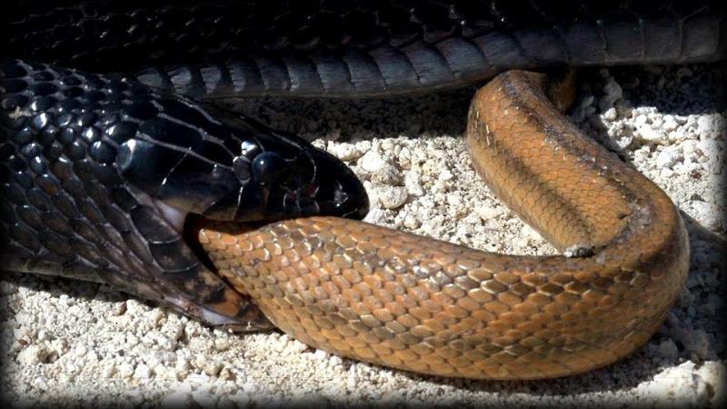 为什么蛇的行为总是这么奇怪,会自己吃自己的尾巴?