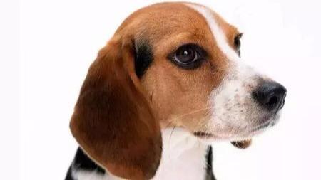 """狗狗眼""""干""""是为何?导致干眼症的原因?"""