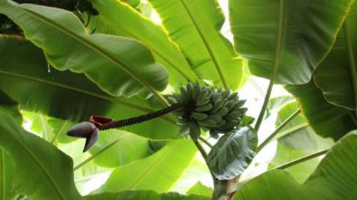 香蕉树是草不是树?