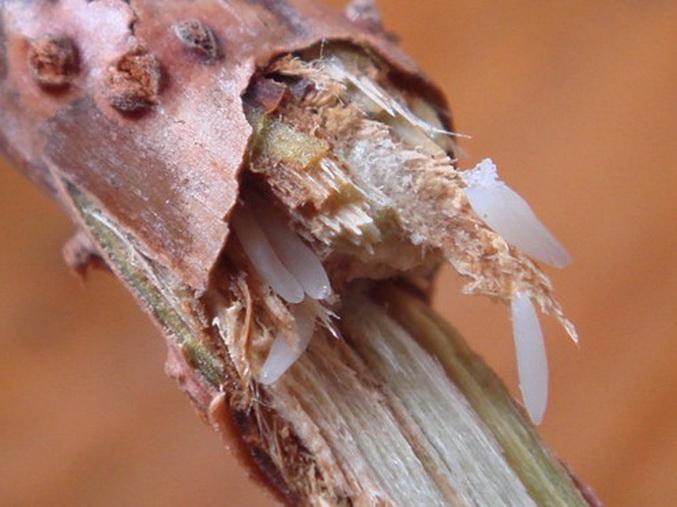描写蝉的卵的段落