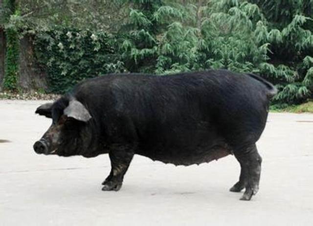 黑母猪_什么品种的猪最好_百度知道