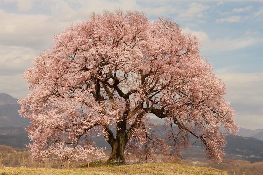 富士山樱花_求樱花树图片(大图)_百度知道