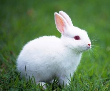 长尾巴的兔子_兔子的尾巴有什么作用_百度知道