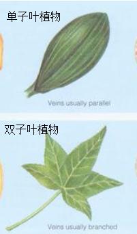 双子叶植物叶叶片包括
