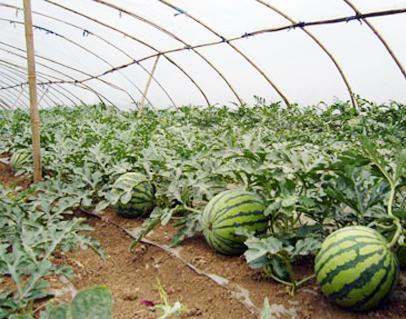 氯化钾对西瓜的影响