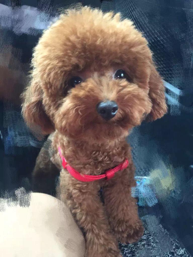 大的样子_三个月大泰迪犬什么样子,有谁能给我发个照片看看_百度知道