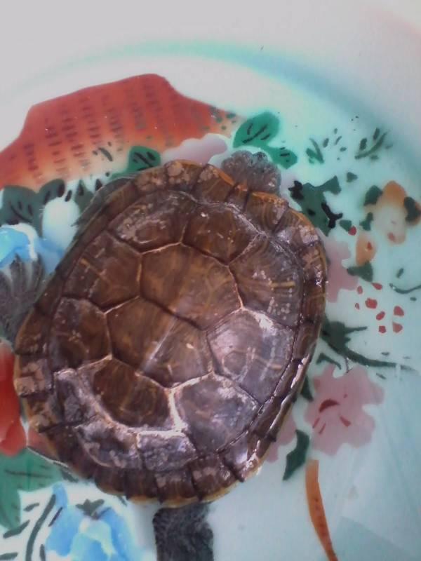 小乌龟冬眠了怎么办_我的小龟冬眠醒了一直没吃食,眼睛肿的睁不开,而且还头部 ...