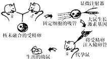 图为转基因超级鼠培育过程示意图,下列叙述错误的是 A.生长激素导入到代孕母鼠受精卵内 B