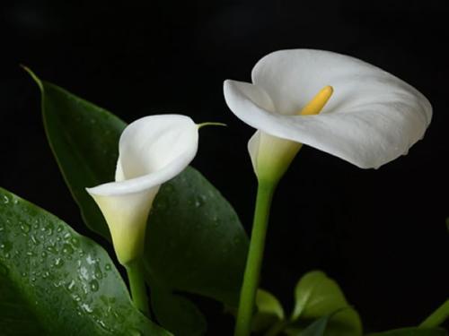 马蹄莲花语_马蹄莲的花语是什么?_百度知道