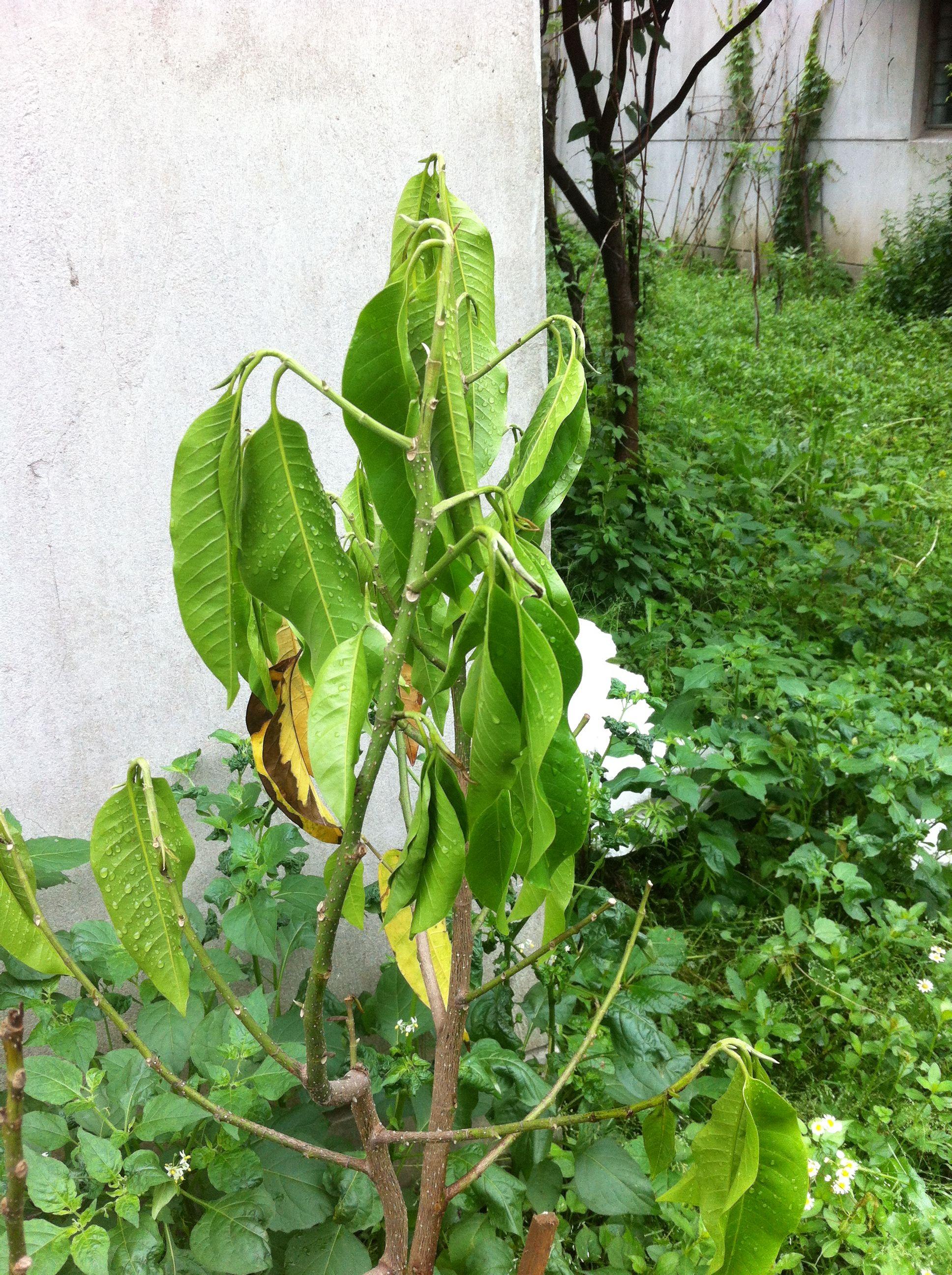 白兰花叶子_请救救我家的白兰花,这棵白兰花叶子低垂,开始发黄,芽也 ...