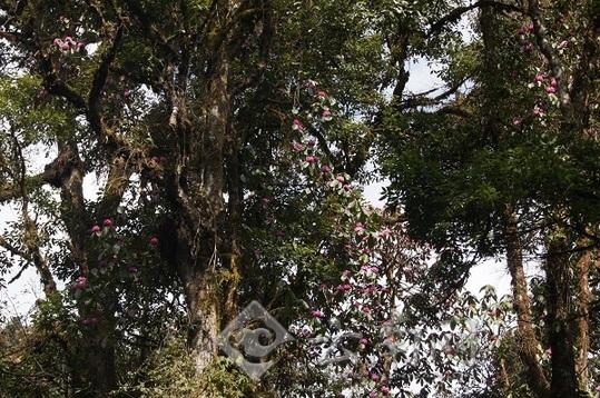 野生大树杜鹃栽培技术