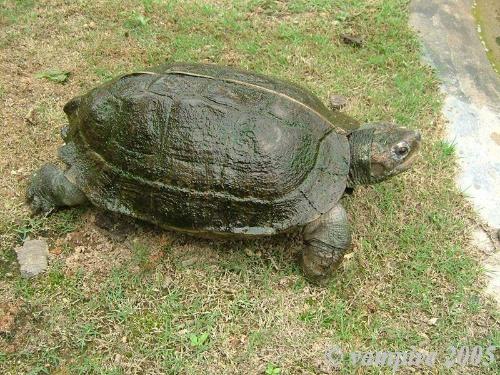 亚洲情龟_亚洲巨龟是什么颜色
