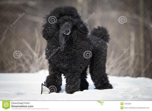 黑色卷毛狗是什么品种?