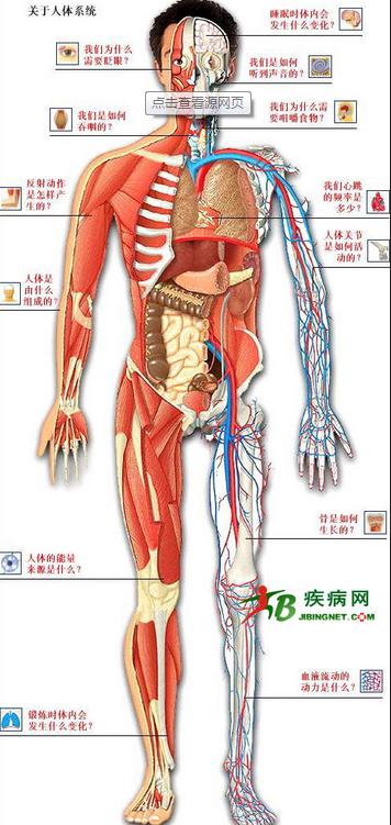 男人右边内部身体结构图片展