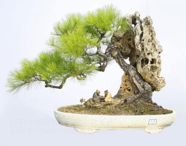 松树盆景制作视频_怎么制作松树盆景?要带图片的_百度知道
