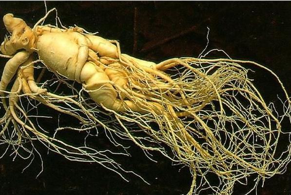 人参种子怎么种植?