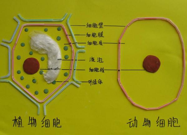 动植物细胞的异同点_用现有的知识简述动物细肥与植物细胞的相同点和不同点_百度知道