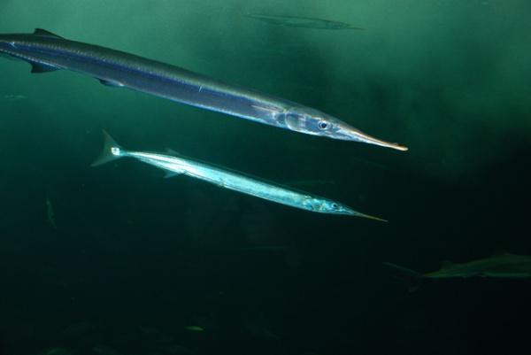 针颌鱼_那个长嘴的是什么鱼_百度知道