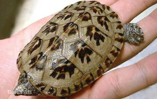请问招财龟长什么样