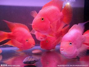 鹦鹉鱼全在水底歪着怎么办?