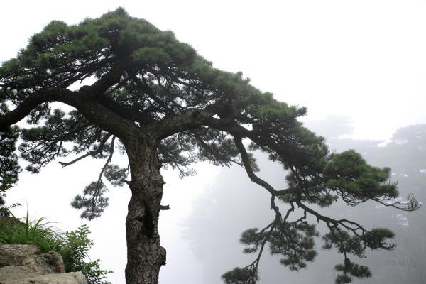 万年松树图片图片