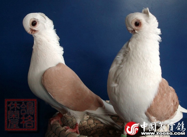 观赏鸽子品种大全_我想养鸽子,请大家告诉我那种鸽子好养。_百度知道