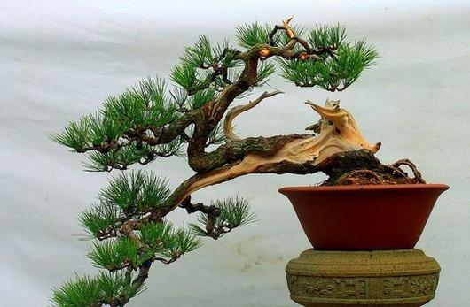松树盆景制作视频_什么品种的松树适合盆栽_百度知道