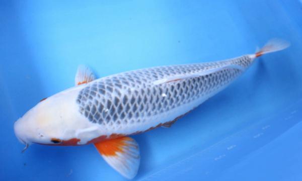 冷水观赏鱼该怎样饲养 乌鲁木齐水族批发市场 乌鲁木齐龙鱼第1张