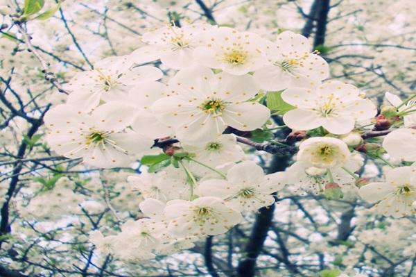 梨树为什么不开花_春天的果园中什么水果开出什么颜色的花颜色春天果园水果花鸟 ...