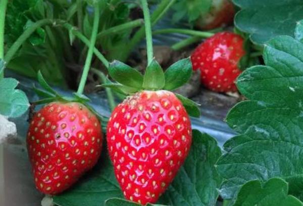 草莓用英语怎么读?