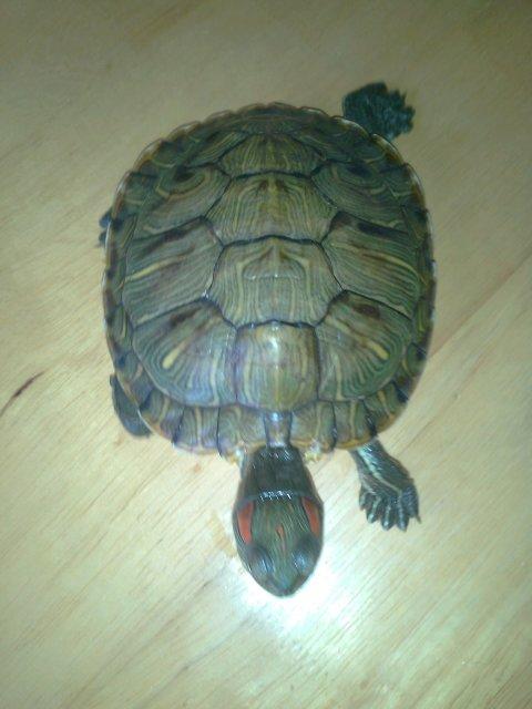 小乌龟浮在水面_我的巴西红耳龟怎么浮在水面上沉不下去啊?而且它也不吃东西 ...