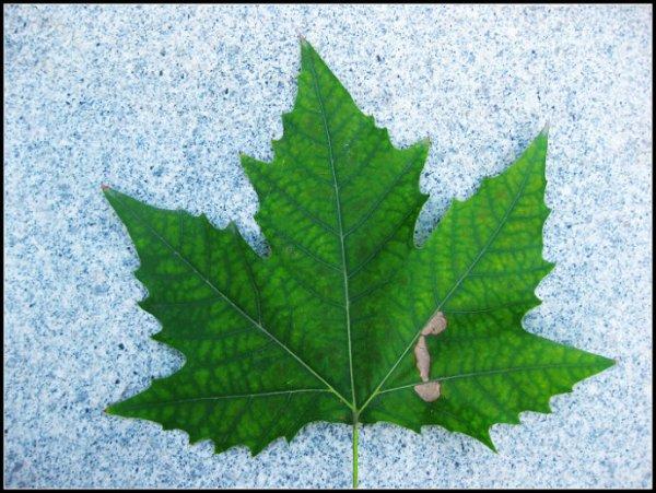 梧桐树叶像手掌的仿写句是什么?