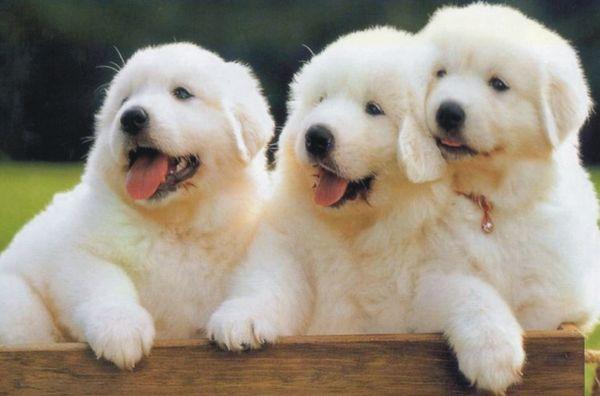 脑筋急转弯:两只狗赛跑,甲狗跑得快,已狗跑得慢,到终点时,哪只狗出的汗多?