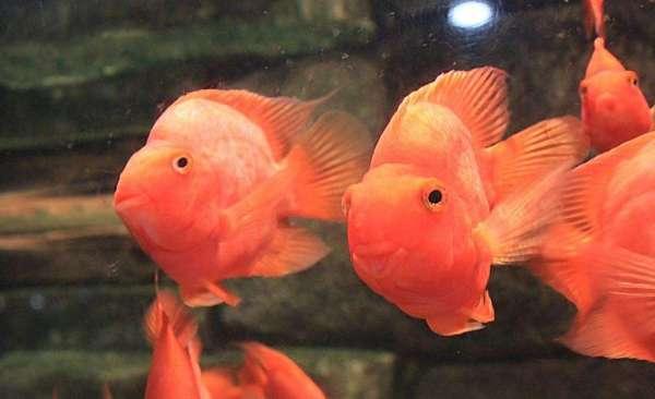 鹦鹉鱼南昌皇冠黑白魟鱼价格有哪些常见病?如何预防? 南昌水族批发市场 南昌龙鱼第2张