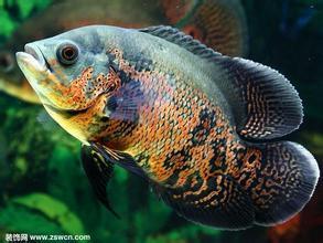 生意一般养什么观赏鱼好呢图片