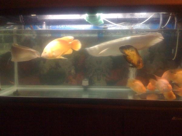 水面放乒乓球是肯定没有什么依据的做法先说下怎么会掉眼:因为龙鱼经常吃了沉在缸底的 水族资讯 南昌水族馆第1张