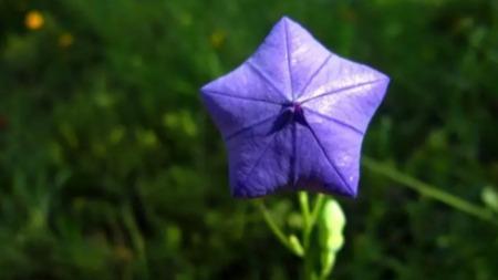 桔梗花——田野中的蓝精灵的头图