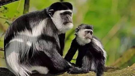 """猴子也看脸!""""美猴王""""的选美赛上少不了它——黑白疣猴"""