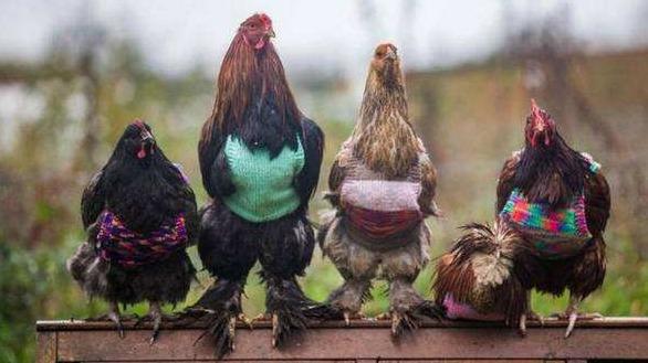 欧洲人以后打算都这样宰鸡,感觉像毒气室啊!