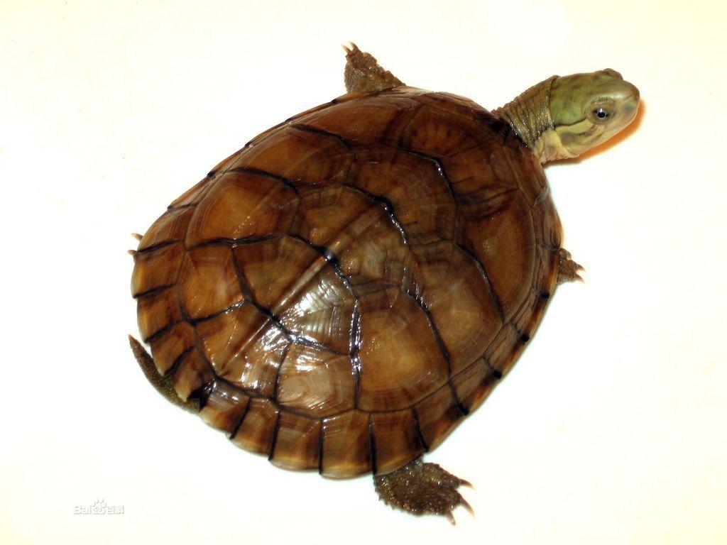 黄喉拟水龟苗的饲养_这是石龟吗?请看图_百度知道